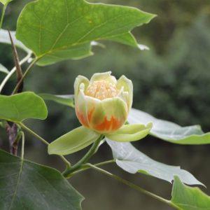 Prachtig, de tulpenboom staat in bloei!