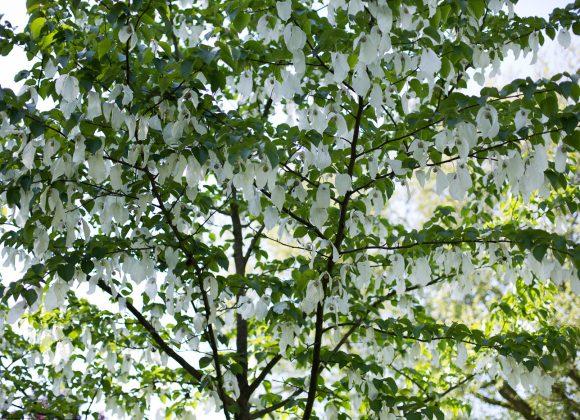 Bomenwandeling op 20 mei