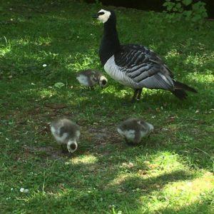 Ganzenpopulatie in het park uitgebreid